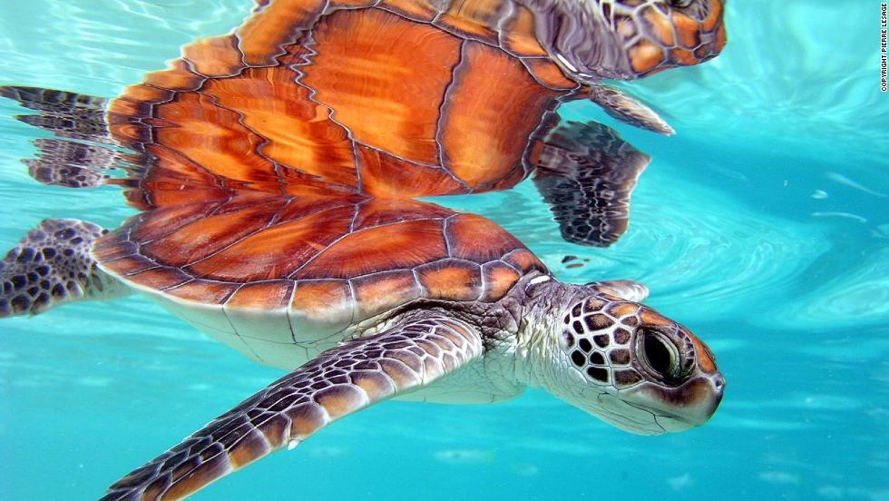 Green turtles in the south central Pacific Ocean do not face many serious threats, says conservationists, and can still be found in abundance