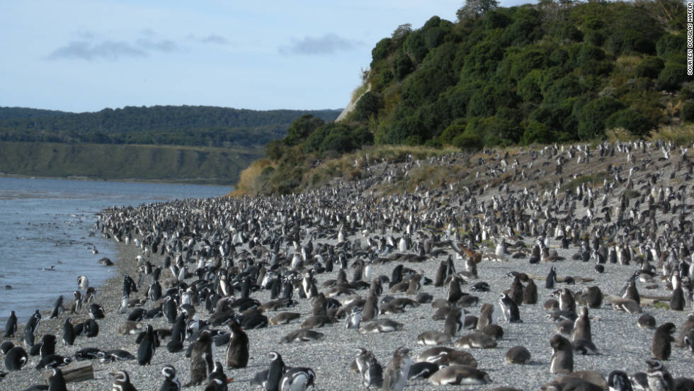 "Douglas Haffer shared this photo of penguins gathered along the shoreline in Tierra del Fuego. He loved that ""penguins are available to walk amongst."""