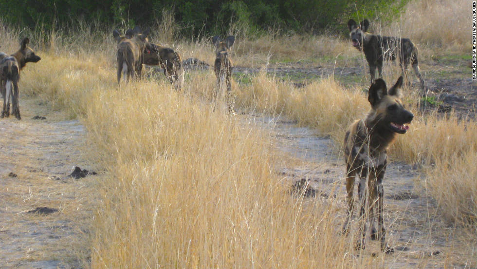 Conservationists say shrinking habitat and farmers, hunters and rangers are dwindling wild dog numbers.