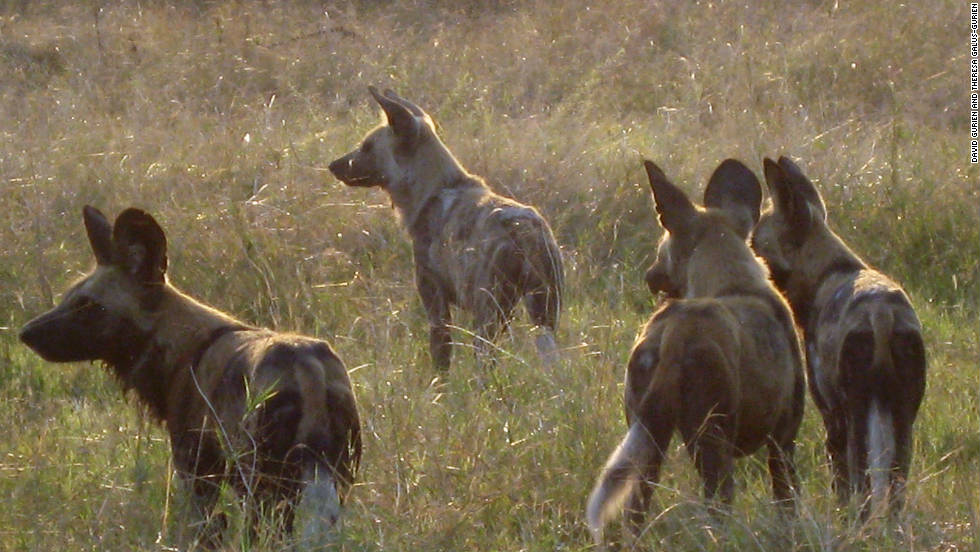 African wild dogs are alert to nearby prey. The dogs are endangered and it is rare to see them in action.