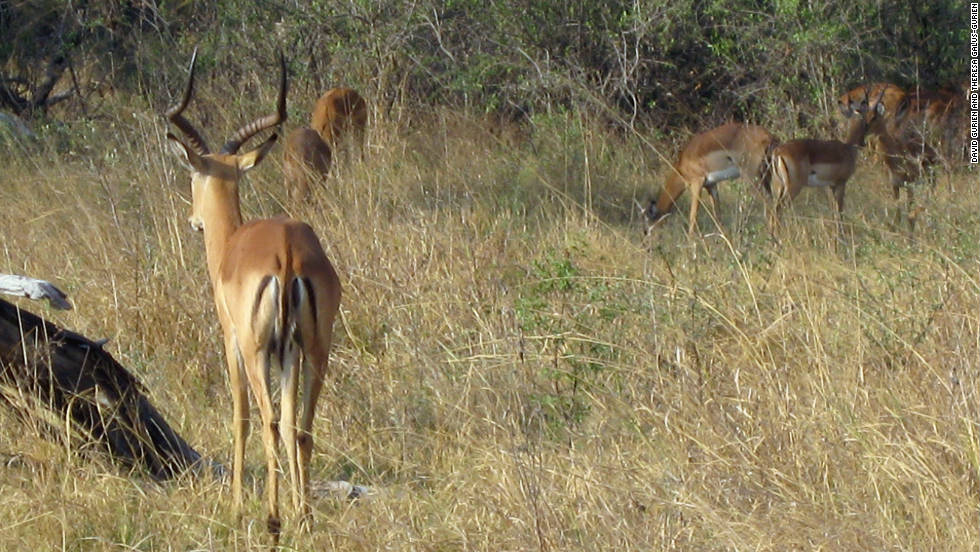 Impala are the dogs' target on this hunt.