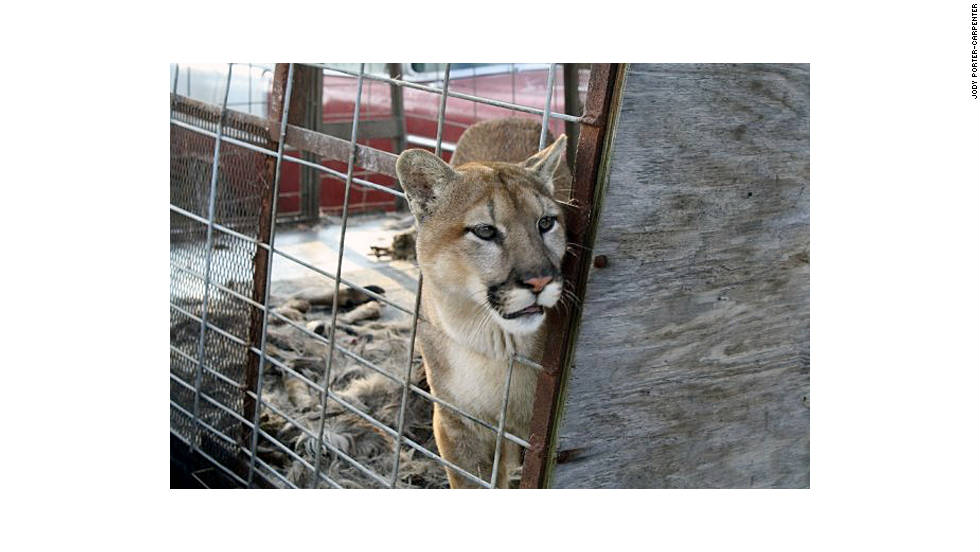 "The three mountain lions Thompson owned were killed on October 19 as a safety measure. ""When we got here, obviously, public safety was my No. 1 concern,"" Muskingum County Sheriff Matt Lutz said. ""We could not have animals running loose in this county."""