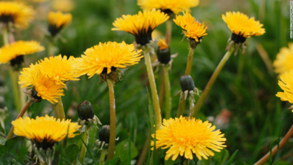 Did you know dandelions can be eaten in their raw form? Use them to spruce up your garden or your salad! Dandelions cleanse the body and slow down digestion, making you feel full longer. Dandelions also rank in the top four vegetables of nutritional value, according to the USDA.