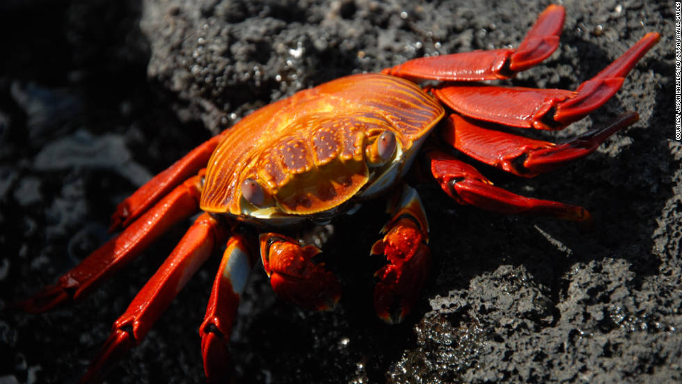 "Betty Halberstadt of Revere, Missouri, sent travel photos she and her son Jason took in the Galapagos. ""Sally crabs don't bother with camouflaging themselves,"" she said. ""Instead, they're dressed to the nines every day!  They are fairly common to most of the Islands."""