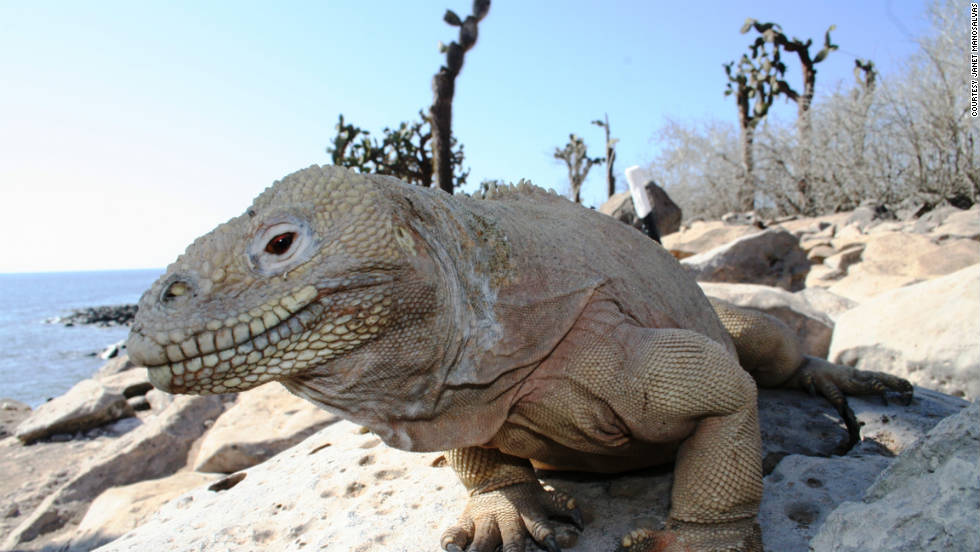 "A male giant land iguana basks in a beautiful day. Manosalvas says the islands are ""majestic, but they are in danger"" because of overbuilding. She says she believes this is because of locals and big companies, not tourists. Manosalvas says some folks cannot believe she lives on the islands. ""Many people think you can only visit Galapagos by taking a cruise, but you can make any of the inhabited islands your destination, not just a short stop on a cruise."""