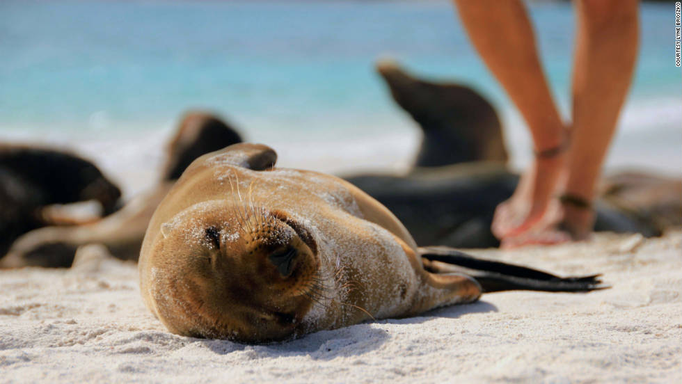 "Lyne Broszko of Montreal shot this adorable photo of a sea lion pup sunning itself on a Galapagos Islands beach in Ecuador. ""All the sea lions have grown accustomed to having visitors on their islands, so we humans are only slightly annoying paparazzi to them,"" she said."