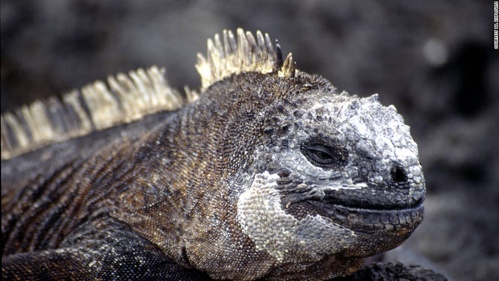 The eight-day boat tour brought him face-to-face with many creatures, including iguanas.