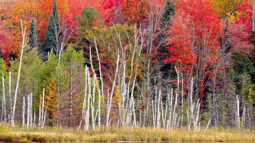 "Alanna St. Laurent took this photo of birches on Council Lake in Michigan. ""This composition captured my eye because of the starkness of the birch trees in front of the fall color behind them."""