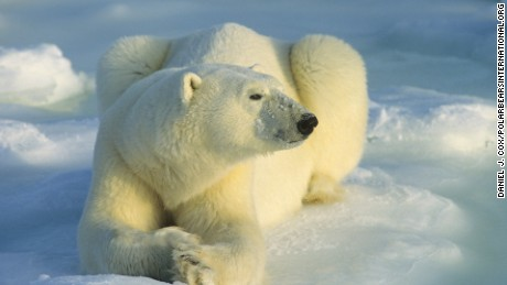 Polar bears are animals that top the food chain in the Arctic and people view them as a majestic symbol of the Far North.