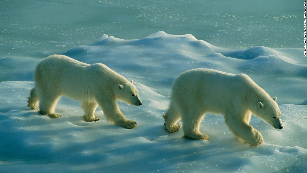 Global warming and diminishing sea ice habitat is the greatest threat to the bears, according to Polar Bears International.