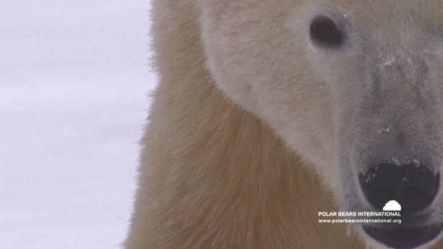 Largest polar bear gathering in world