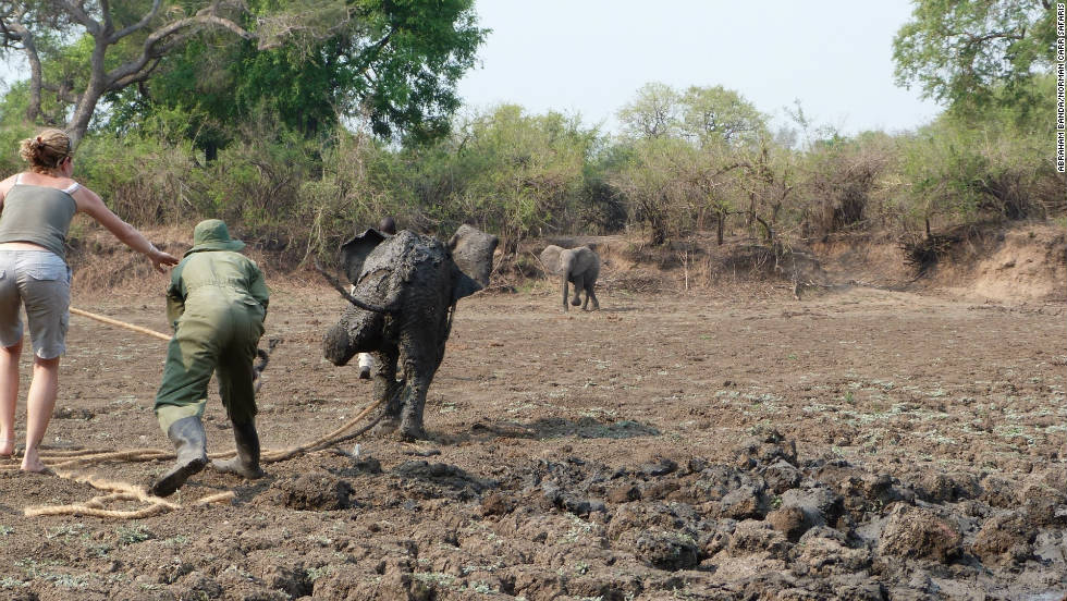 Once freed, the baby elephant scampered away from rescuers towards her herd, waiting close by.