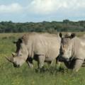 rhino extinct northern white