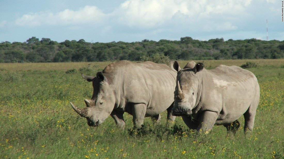 As the only male, the fate of the subspecies depends on Sudan. Though he is too old to mate, scientists are hoping to impregnate other females using his sperm.