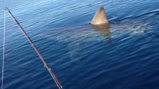 von great white shark spotted_00013508