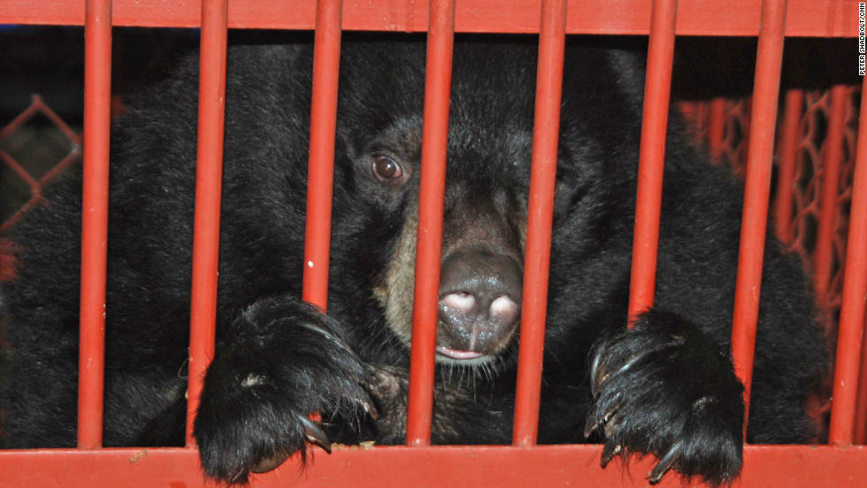 Rescued Moon Bears must spend at least three months in quarantine.