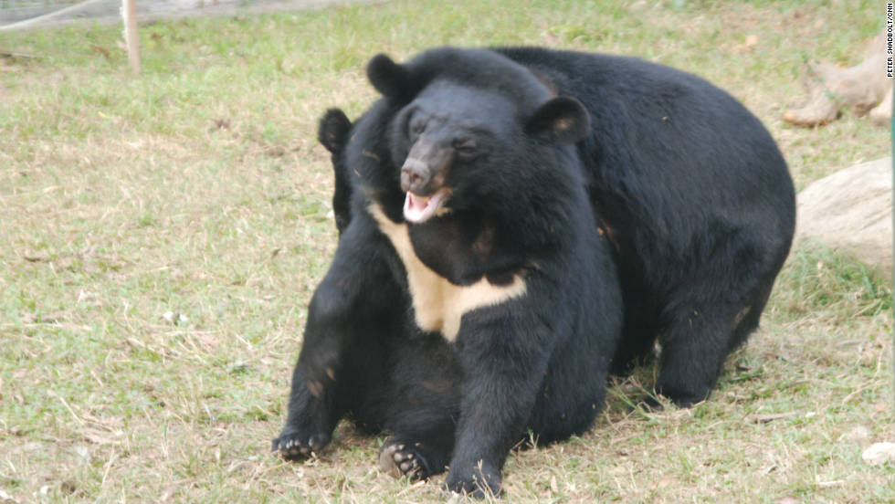 Moon Bears, normally solitary animals in the wild, learn to socialize at the facility.