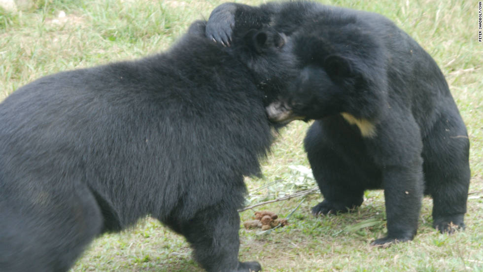 Not much is known about the behavior of Asiatic bears in the wild.