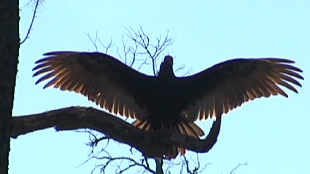 ga black turkey vultures walb_00000220
