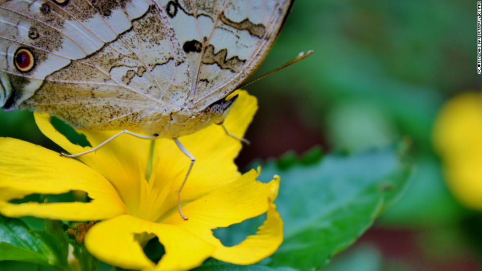 The Zanzibar Butterfly Centre funds local development projects and helps conserve local forests.