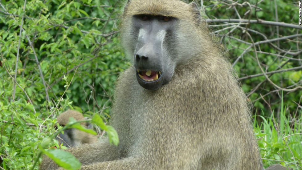 Baboons are all over this part of Zambia, making their way into populated areas.