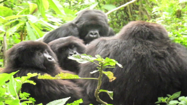 vonat rwanda mountain gorillas_00013129