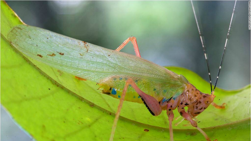 """A new species of katydid, nicknamed the """"Crayola Katydid"""" was also thought to have been discovered by scientists on a trip to southwest Suriname."""