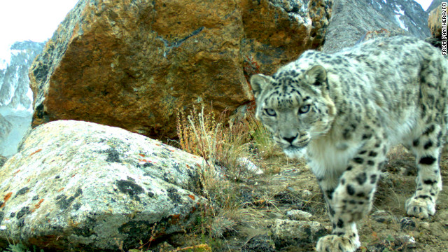 In this undated photo, snow leopards play with a camera during a biodiversity survey in the Zorkul Nature Reserve in Tajikistan.