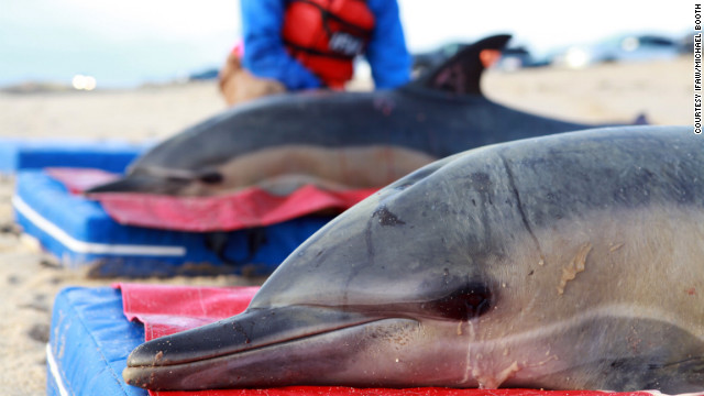 Beached dolphins - photo#26