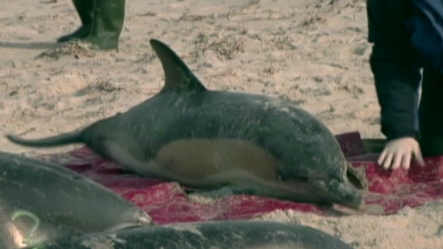 Nine dolphins rescued off of Cape Cod