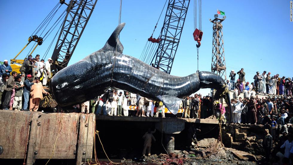 El tiburón ballena gigante fue pescado en el puerto de la ciudad paquistaní de Karachi.