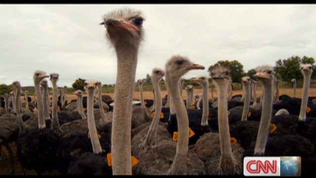 South Africa Ostrich industry in crisis