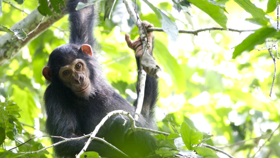 Chimpanzees in the Republic of Congo's pristine Goualougo Triangle forest have received a conservation boost.