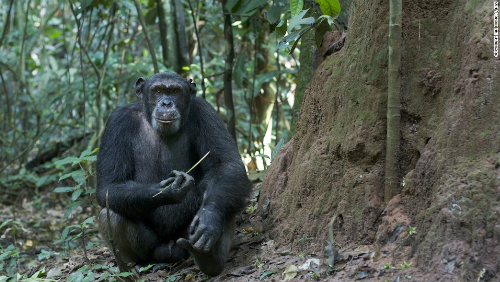 Wildlife Conservation Society studies in the Goualougo Triangle has revealed that chimps use a short stick to perforate a termite mound and a long stick to extract the insects for consumption.