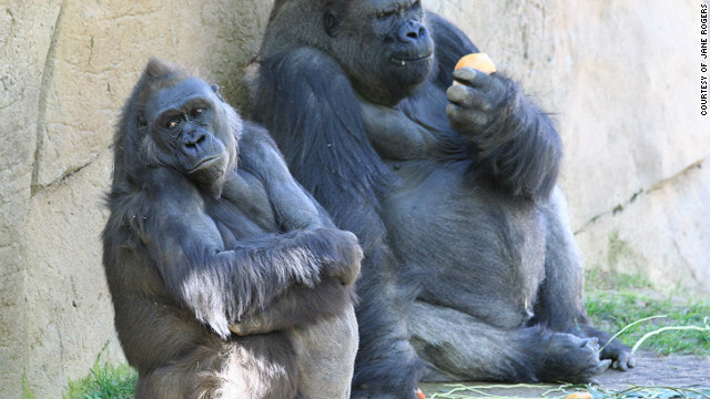 The complete DNA of a female western lowland gorilla called Kamilah (left) has been mapped by scientists