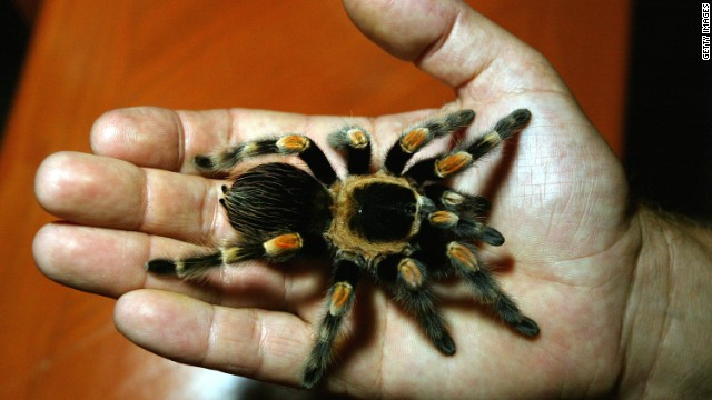 A man holds a Mexican Red-Legged tarantula.