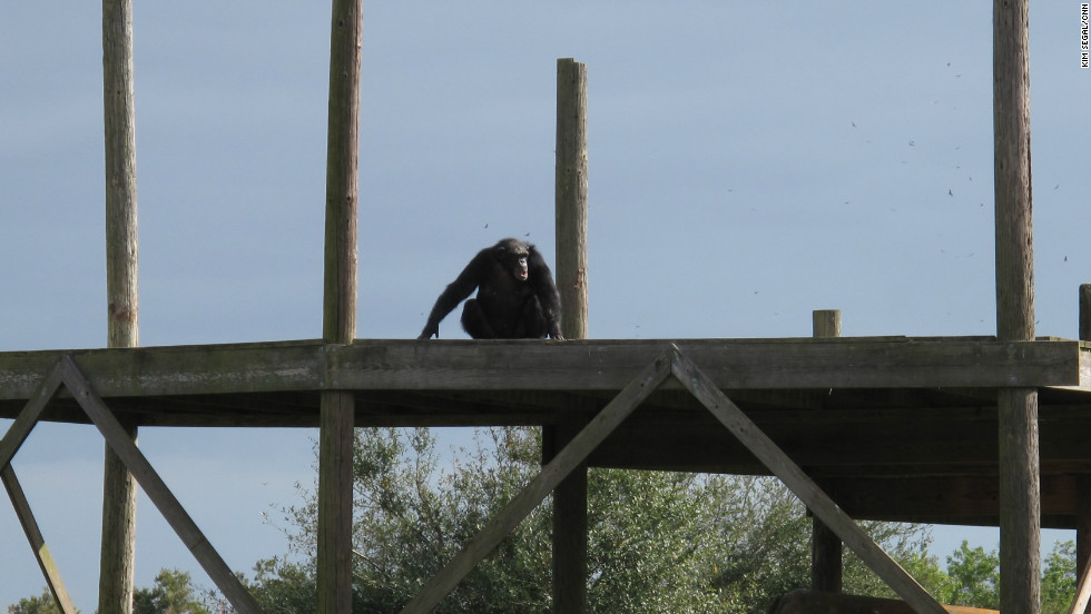 "Moesha is the first chimp to make it onto one of the islands. After a lifetime spent indoors, these chimpanzees can finally look up and see the sun. Feuerstein expresses her relief that the foundation's 10-year rescue operation has come to a successful end. ""It's amazing what we've accomplished,"" she says. ""Nobody's moved this many chimps over this many years and without incident."""
