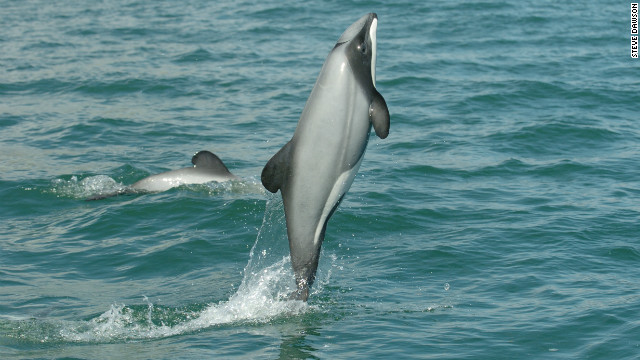Hector's dolphins are one of the rarest and smallest species on the planet.