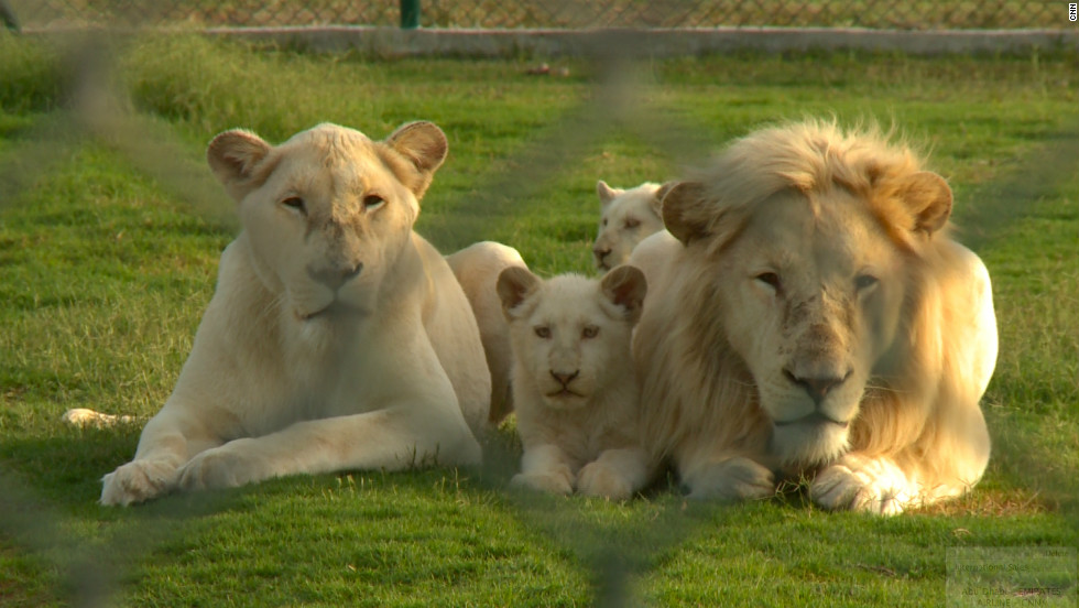 A family of white lions at the Abu Dhabi Wildlife Center, where most confiscated big cats are brought. White lions can go for $50,000 on the black market, according the to center.