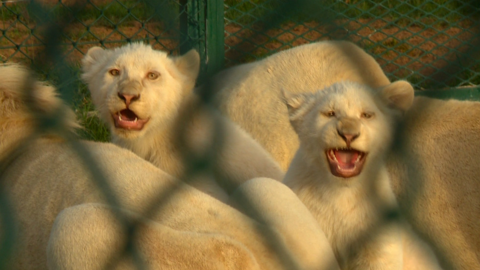 White lion cubs at the Abu Dhabi Wildlife Center. Some big cats bought as cubs are abandoned when they grow bigger and more violent.