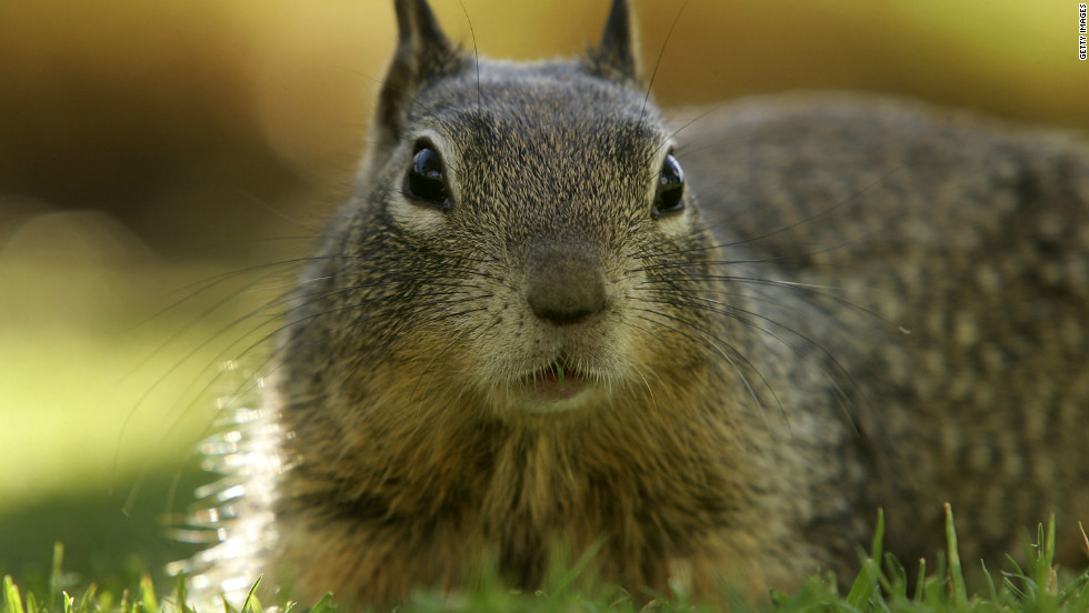 Researchers in California have built a robot squirrel in a bid to better understand real one's (pictured) behavior.