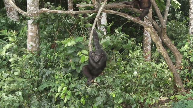 Liberia's chimpanzee island