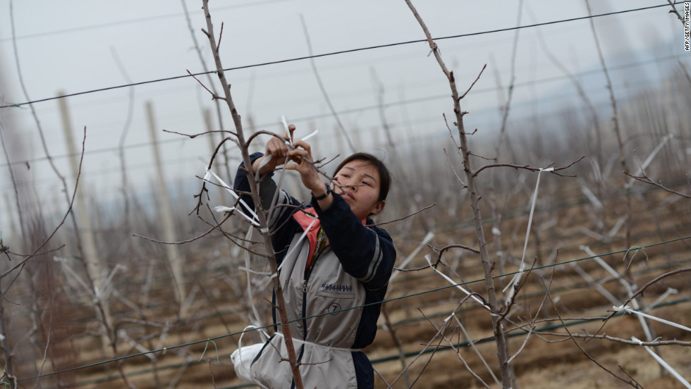 A woman ties the branches of apple trees on a farm near Pyongyang on Tuesday, April 10.