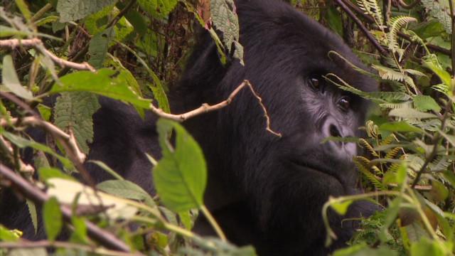 Rwandan gorilla sneezes