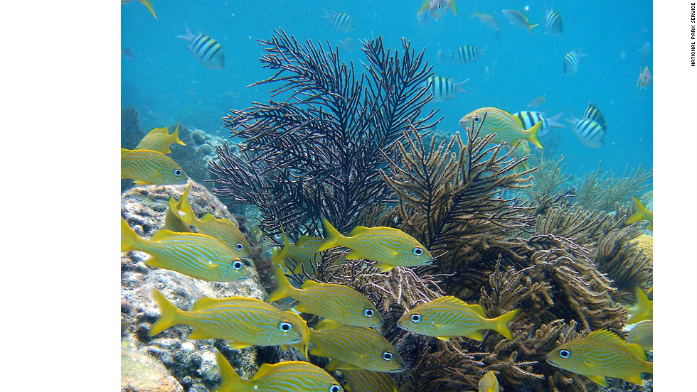 There are more than 500 different species of fish associated with the Virgin Islands. French grunts are among one of many reef fish that can be seen.