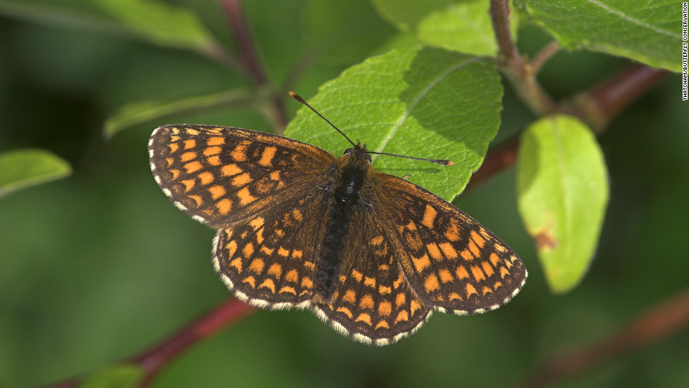 Populations of the heath fritillary (pictured) have increased in southern England after the introduction of a new forestry management scheme.