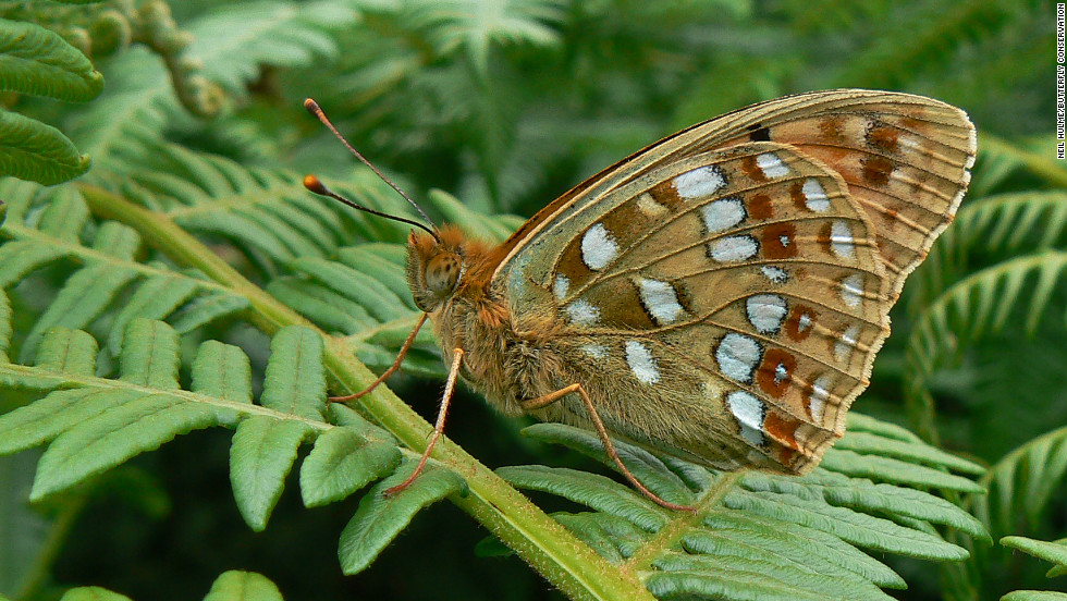 The high brown fritillary was once dominant in England and Wales but now remains in just a few small colonies.