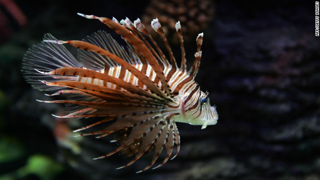 Lionfish destroying lobster industry