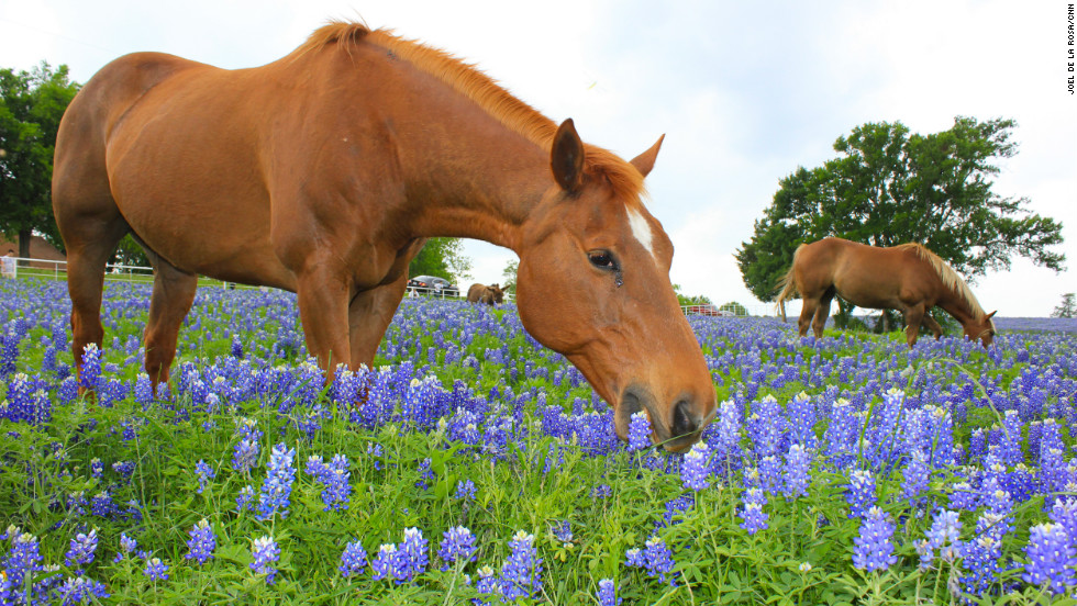 "A horse grazes in a patch of bluebonnet flowers in Ennis, Texas, the ""bluebonnet capital of North Texas."""