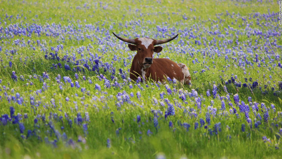 A cow stands amid the bluebonnets. Farm animals don't eat the flowers because they have a bitter taste, said Sandy Anderson, the chairperson of the Ennis Garden Project.